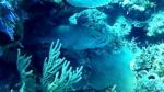Cernia gigante atlantica - Epinephelus itajara