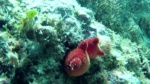 Ascidia viola - Halocynthia papillosa - red sea Squirt - intotheblue.it