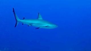 The sandbar shark