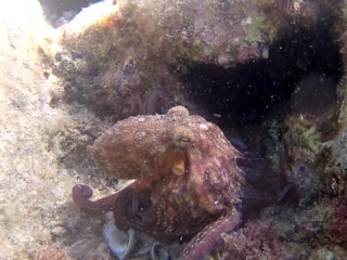 Polpo Comune - Octopus Vulgaris - Intotheblue.it