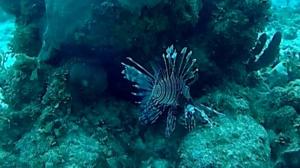 Pesce Scorpione - Pesce Leone - Pterois volitans