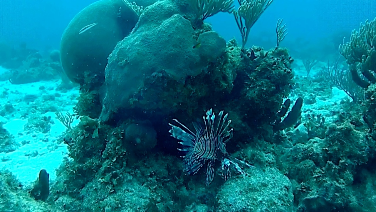 Pesce scorpione - red Lionfish - Pterois volitans - intotheblue.it