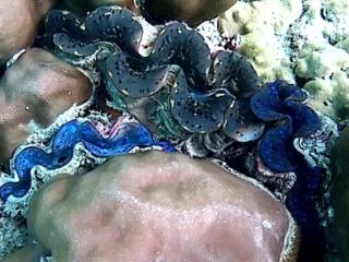 Tridacna Maxima - Intotheblue.it