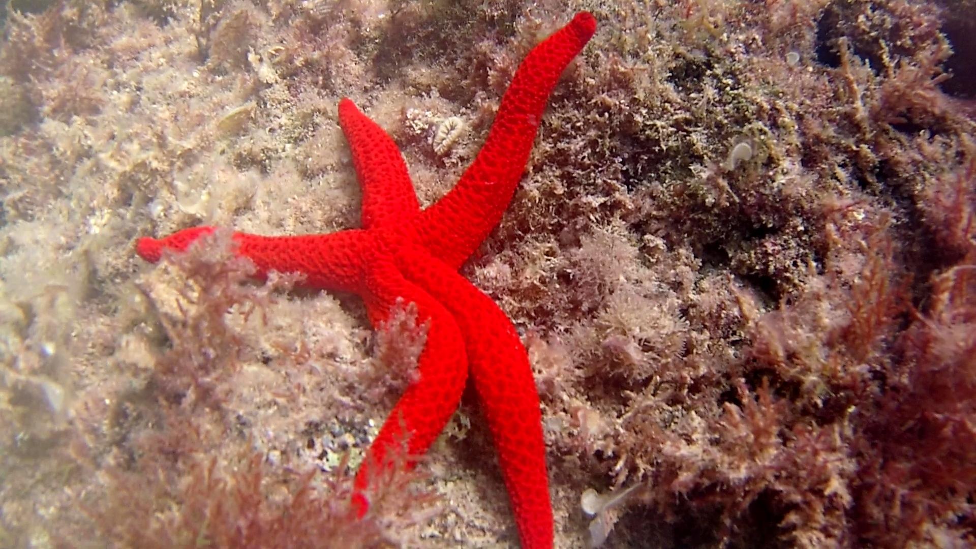 stella marina rossa - echinaster sepositus - mediterranean star red - intotheblue.it