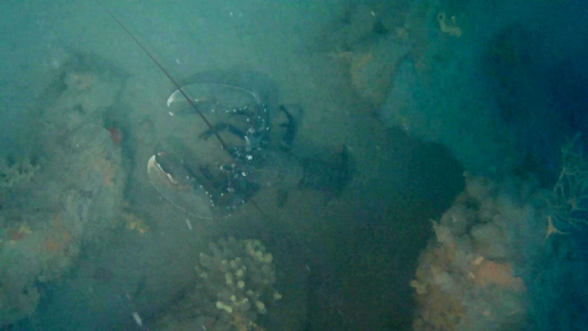 astice del mediterraneo - lupicante - homarus gammarus - mediterranean lobster - intotheblue.it