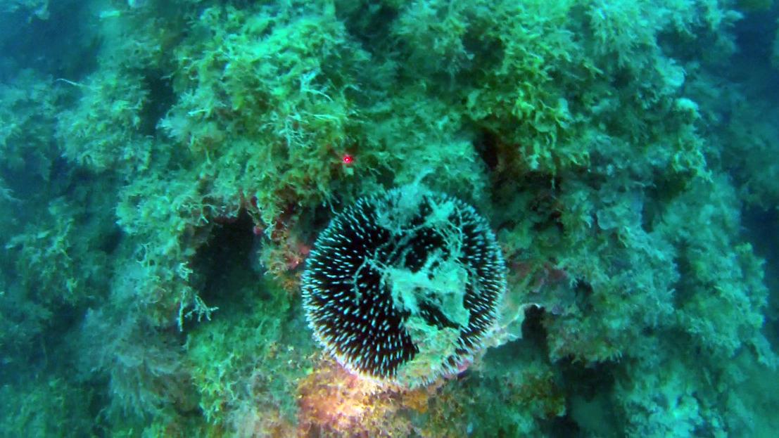 Riccio di prateria Sphaerechinus granularis intotheblue.it