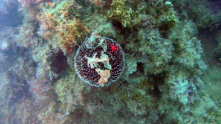 Purple Sea Urchin - Sphaerechinus granularis