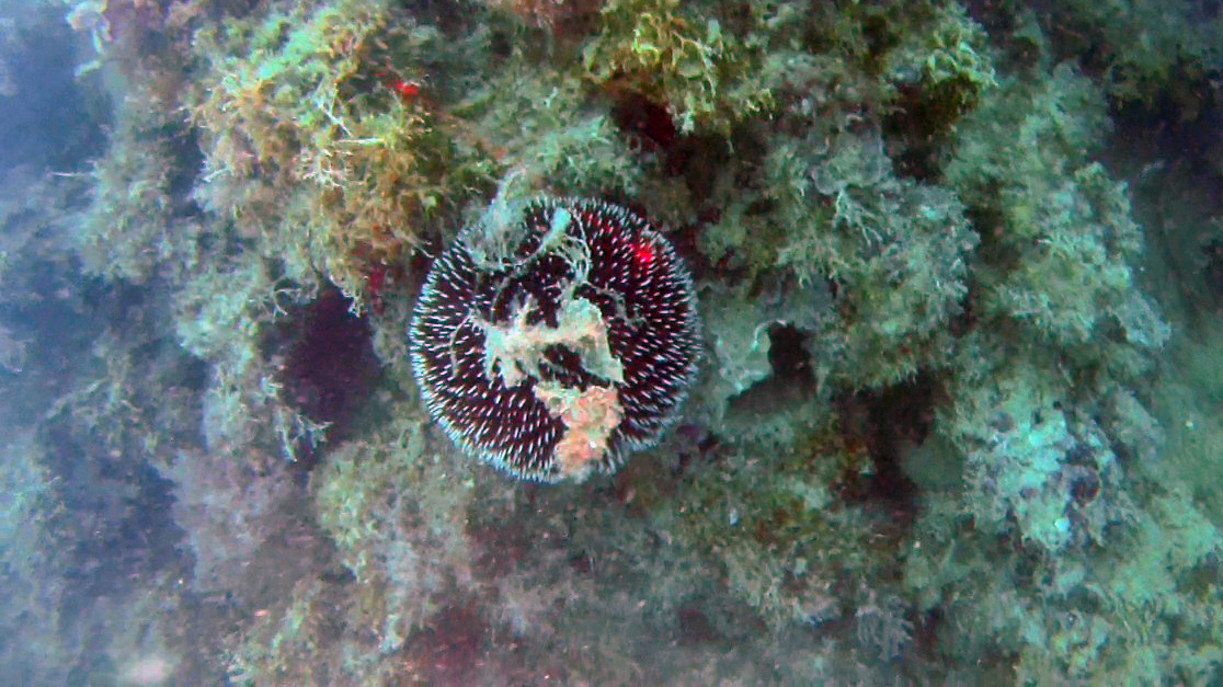 Purple Sea Urchin, Sphaerechinus granularis intotheblue.it