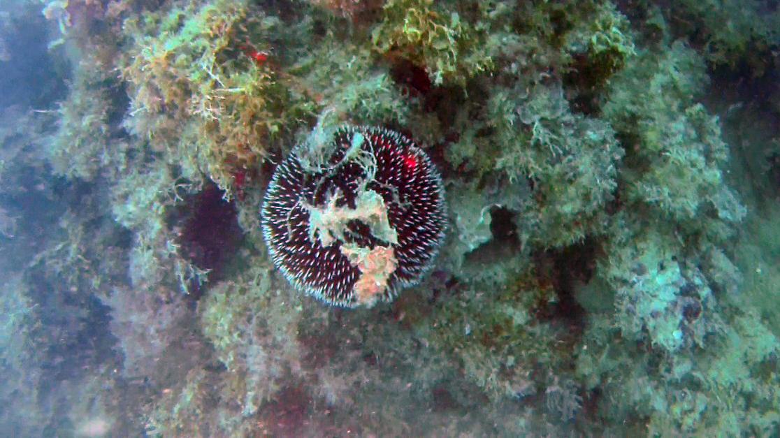 Purple Sea Urchin, Sphaerechinus granularis intotheblue.it