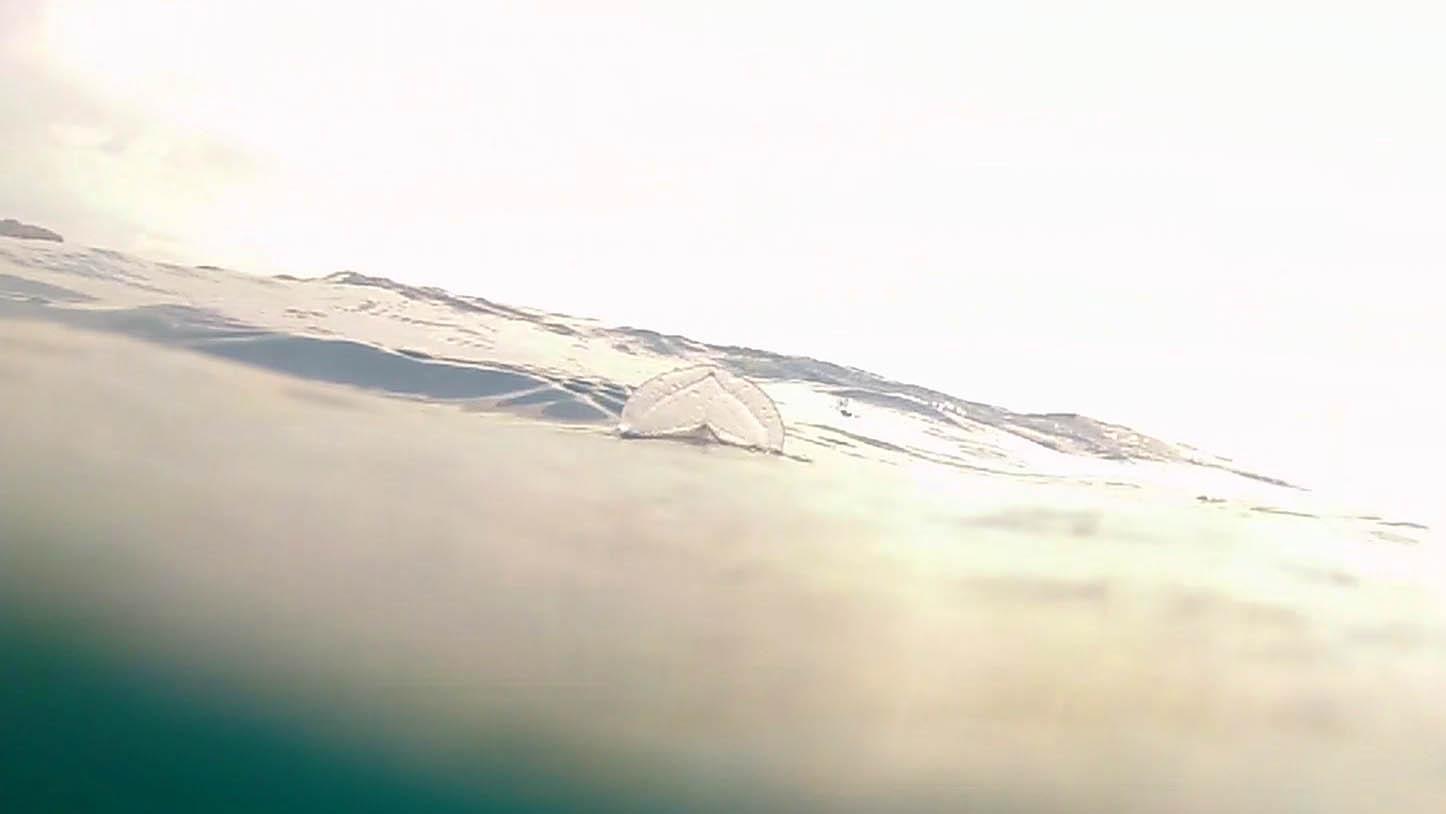 Velella velella, cnidari - intotheblue.it