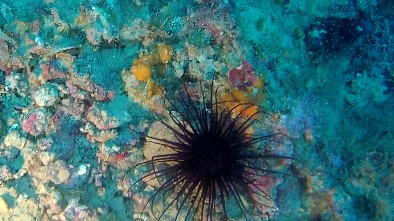Cerianthus Membranaceus black - intotheblue.it