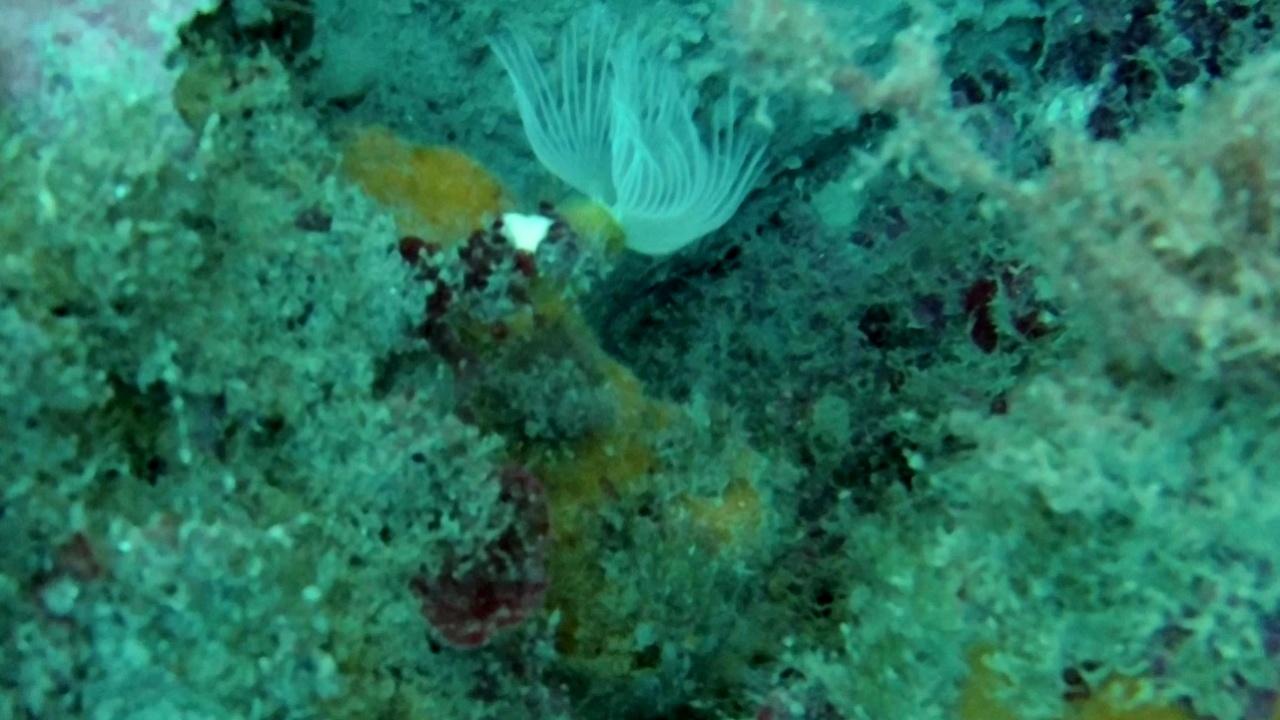 Serpulidae Diantus - intotheblue.it