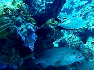 La Cernia Gigante Atlantica - Atlantic Goliath Grouper - Intotheblue.it