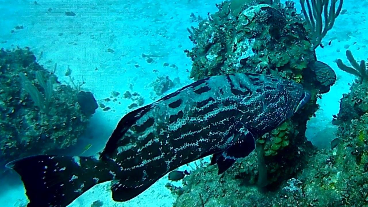 La Cernia striata - The Nassau Grouper - intotheblue.it