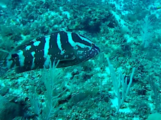 La Cernia Striata - The Nassau Grouper - Intotheblue.it