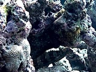 Cernia Maculata - Greasy Grouper - Epinephelus Tauvina - Intotheblue.it