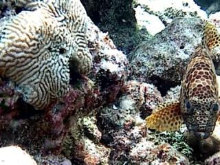 La Cernia Maculata - The Greasy Grouper - Intothrblue.it
