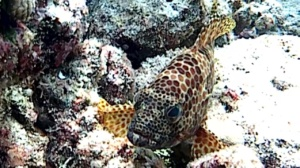 Greasy grouper - Epinephelus tauvina