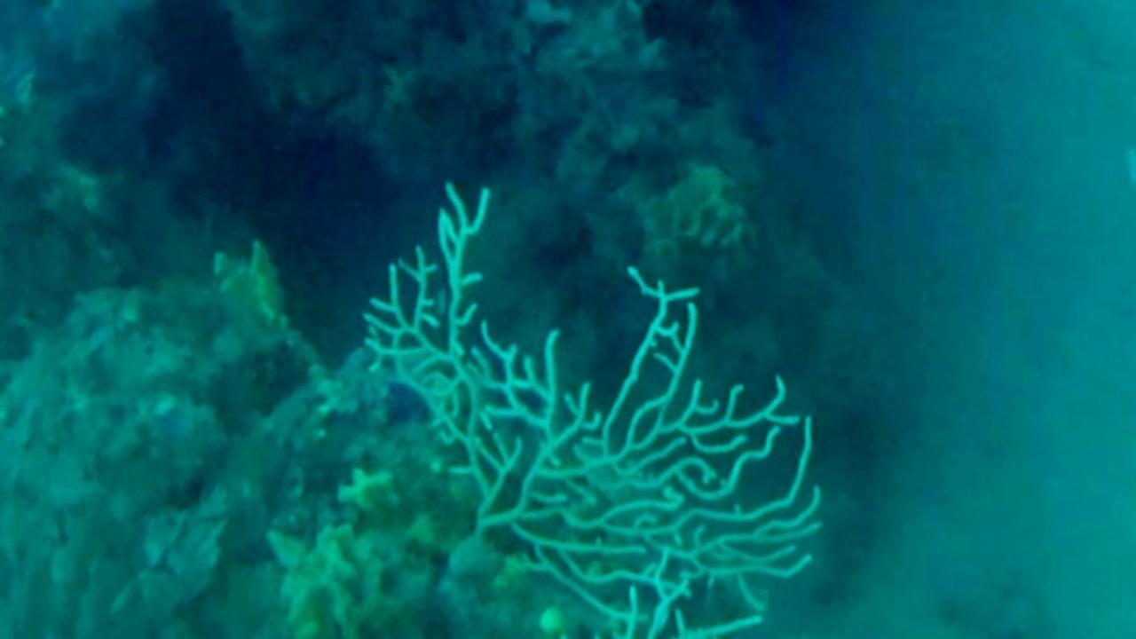 Gorgonia gialla - Eunicella cavolini - yellow Gorgonian - intotheblue.it