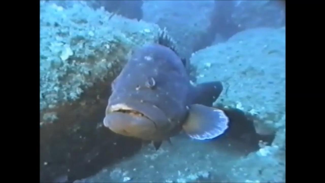 Cernia del Mediterraneo - Grouper of the Mediterranean sea - intotheblue.it