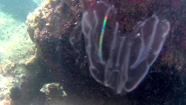 Noce di mare - sea Walnut - Mnemiopsis Leidyi - intotheblue.it