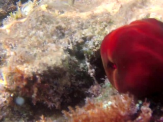 Pomodoro Di Mare - The Beadlet Anemone - Actinia Equina - Intotheblue.it