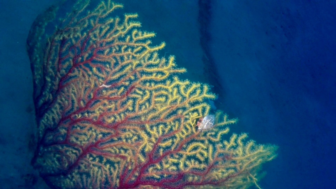 Paguro su gorgonia di Savalia Savaglia - Pagurus on Gold Coral - intotheblue.it
