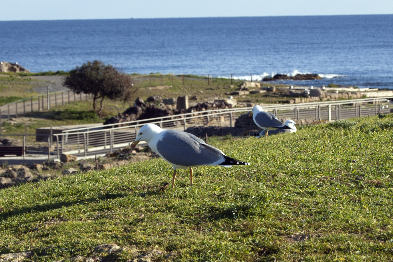 Yellow-legged gull - Archaeological area of Nora - Pula Sardinia - intotheblue.it