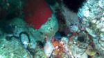 Piccolo esemplare di Murena Helena e Bonellia viridis - intotheblue.it