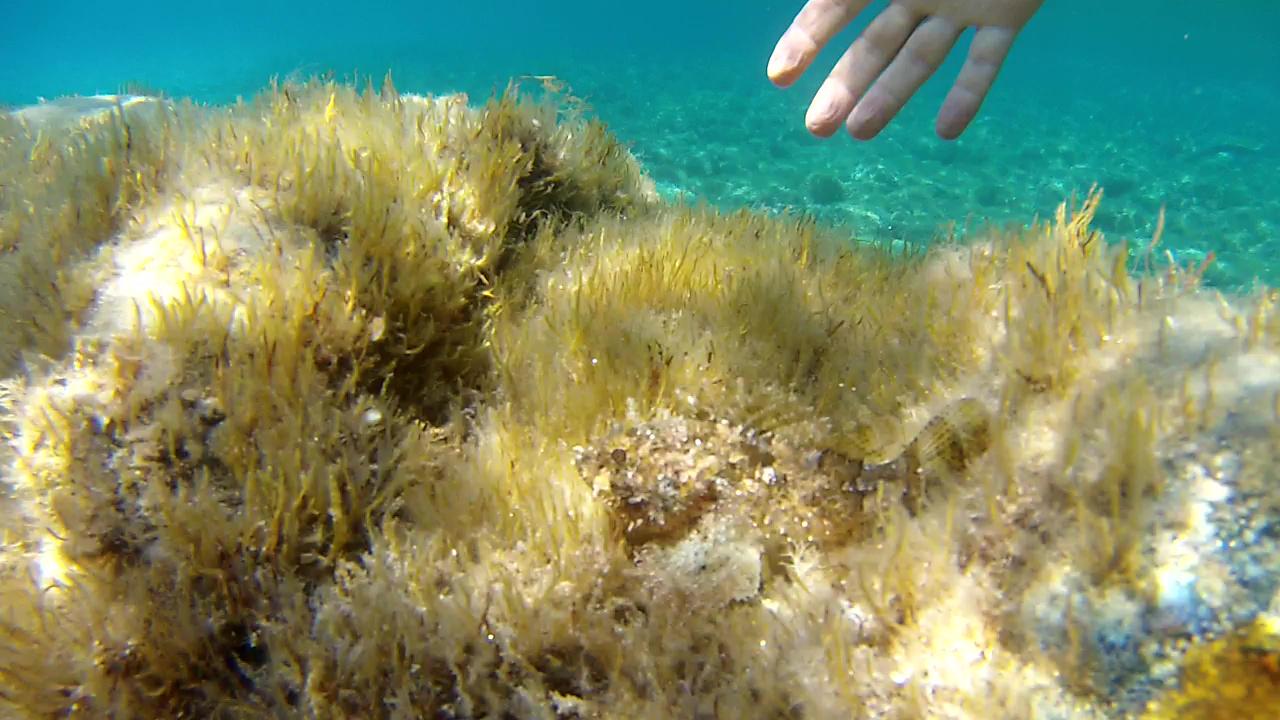 Scorfano Nero Black Scorpionfish - intotheblue