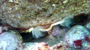 Serpulide hydroides dianthus Serpulidae intotheblue.it