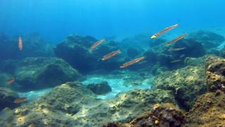 Small Mediterranean Barracudas - Sphyraena viridensis