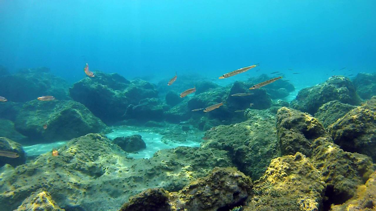 Small Mediterranean Barracudas - Sphyraena viridensis - intotheblue.it