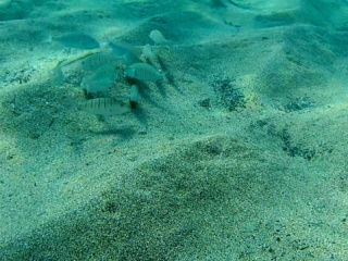 La Mormora - Lithognathus Mormoryus - The Sand Steenbras - Intotheblue.it