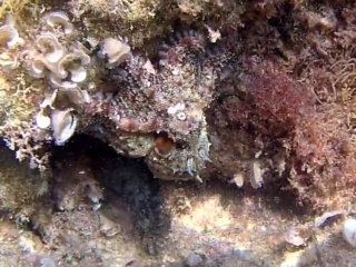 Polpo Comune - Octopus Vulgaris - Common Octopus - Campione Di Mimetismo - Champion In Camouflage - Intotheblue.it