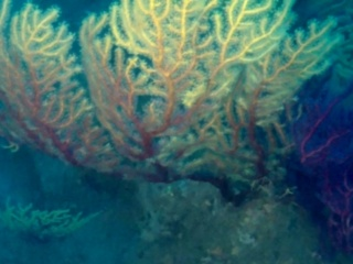 Bellissima Colonia Di Savalia Savaglia - Beautifull Gold Coral Colony - Intotheblue.it