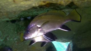 Corvina - Sciaena umbra