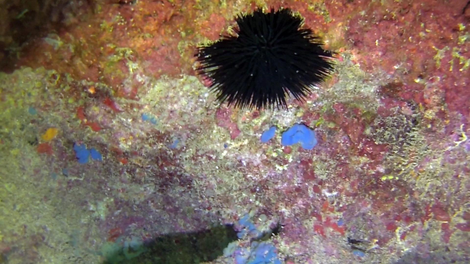 Phorbas tenacior Spugna Blu Blue Sponge intotheblue.it