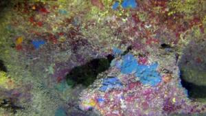 Spugna incrostante blu - Phorbas tenacior