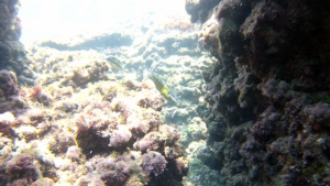 Thalassoma pavo Donzella pavonina labridae intotheblue.it