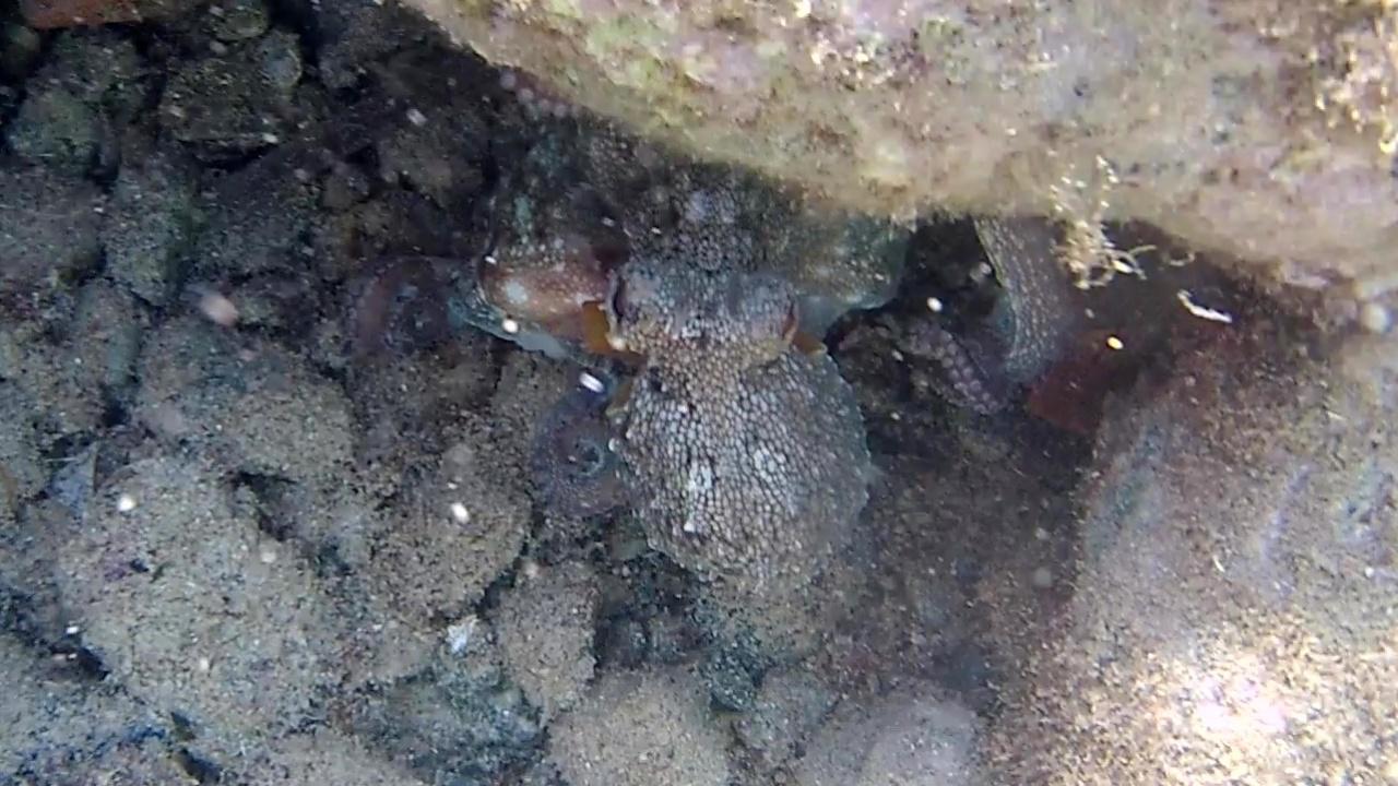Polpo a caccia di cibo - Octopus vulgaris - Octopus hunting for food - intotheblue.it