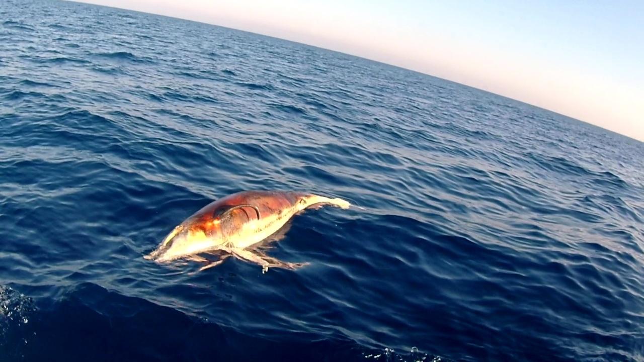Delfino morto al largo di Castiglioncello - Dolphin dead off the coast of Castiglioncello - Tursiops truncatus - intotheblue.it