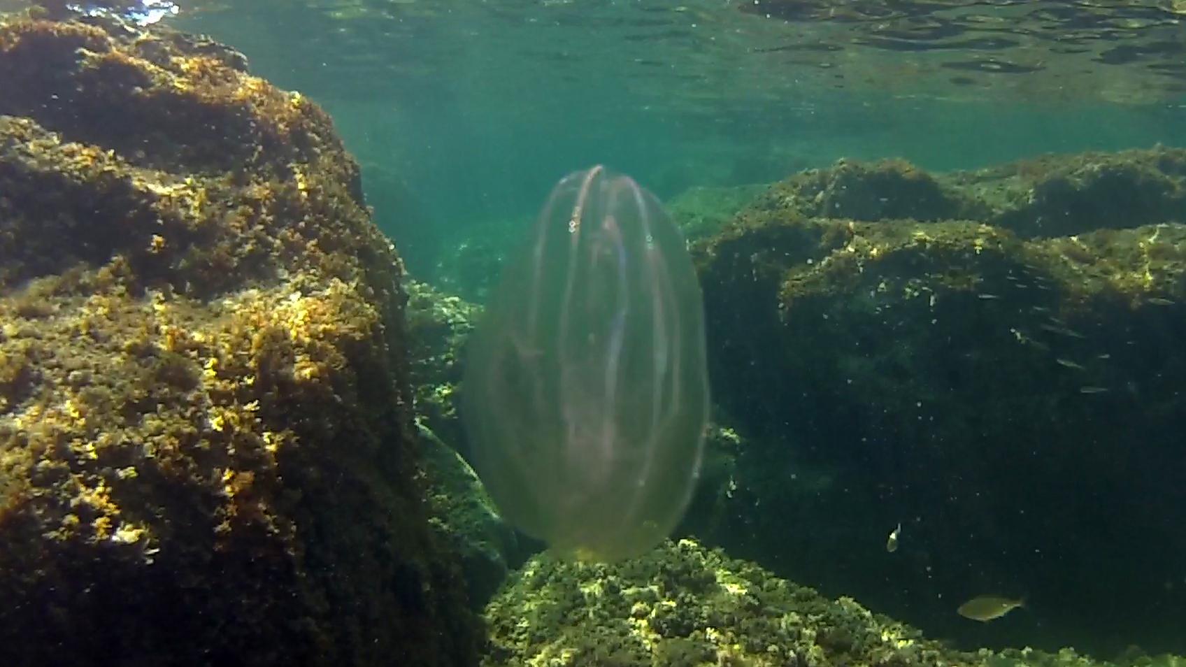 Ctenophora - Mnemiopsis leidyi - Sea Walnut - Noce di Mare - intotheblue.it