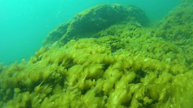 Mucillaggine nella costa Livornese nel mare tra Castiglioncello e Marina di Castagneto
