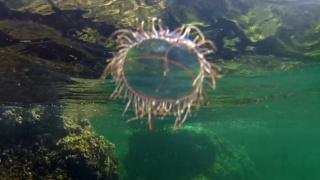 Medusa Olindias phosphorica