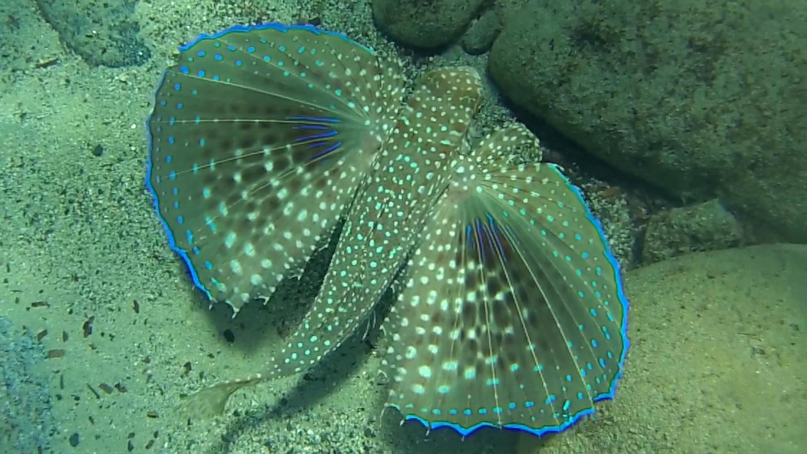 Pesce civetta Dactylopterus volitans Rondine di Mare Flying gurnard intotheblue.it