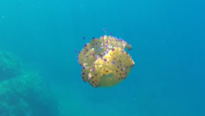 Symbiosis between fish and jellyfish - intotheblue.it