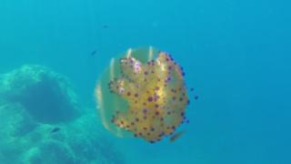 Simbiosi tra pesce e medusa