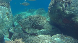 Goldblotch grouper - Epinephelus costae