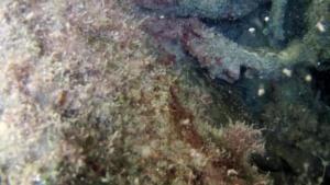 Cernia Bruna - Epinephelus marginatus - The Grouper of Mediterranean Sea - intotheblue.it